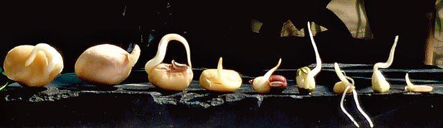 發芽食物 陳曉蕾