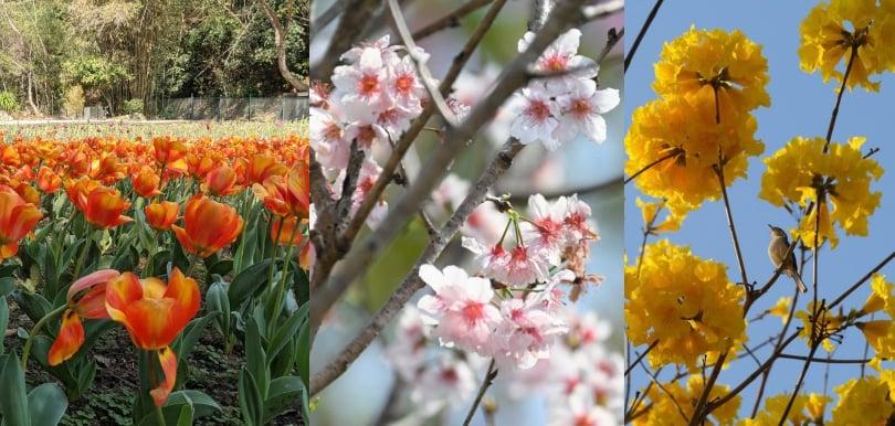 香港都有櫻花同鬱金香花海