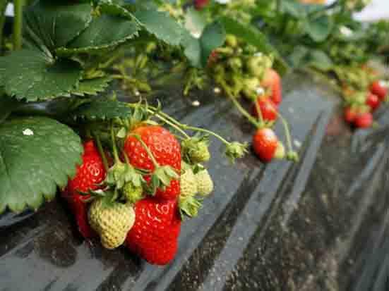 農場(草莓)體驗記 - 上集